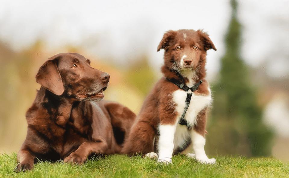 Câine adult cu un pui de cățel stând împreună pe iarbă.