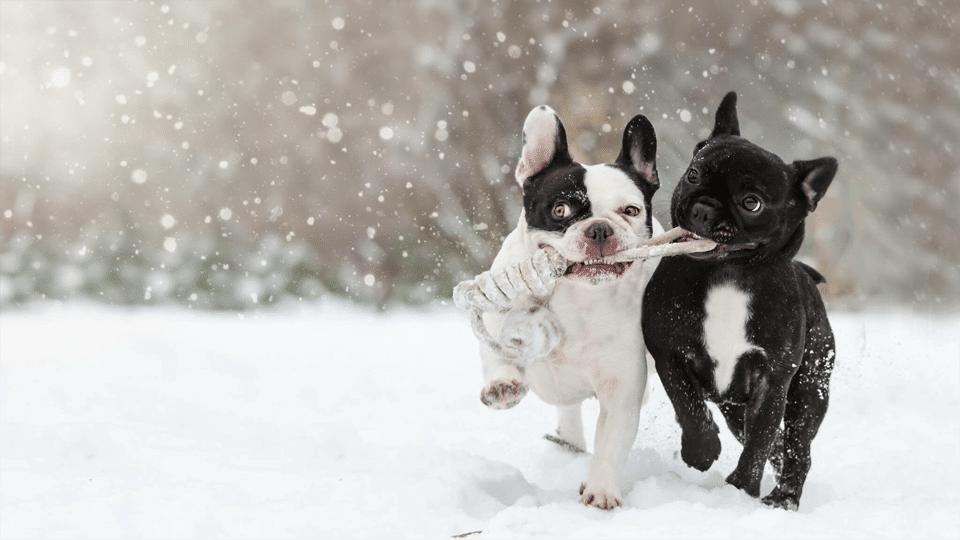 Doi căței jucându-se în zăpadă.