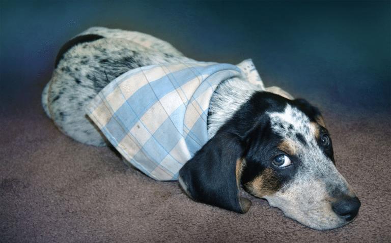 Cățel cu un batic alb-albastru culcat pe covor.