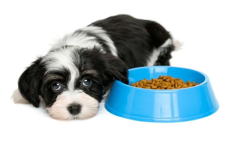 Cățeluș stând lângă un bol albastru cu mâncare.