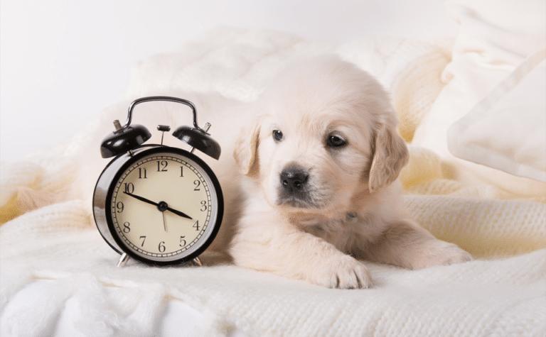 Cățeluș stând pe pat lângă un ceas.
