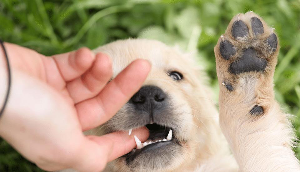 Pui de câine mușcând degetul stăpânului.