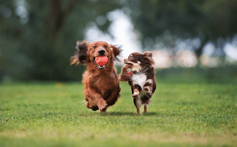 Doi căței alergând împreuna pe iarbă.