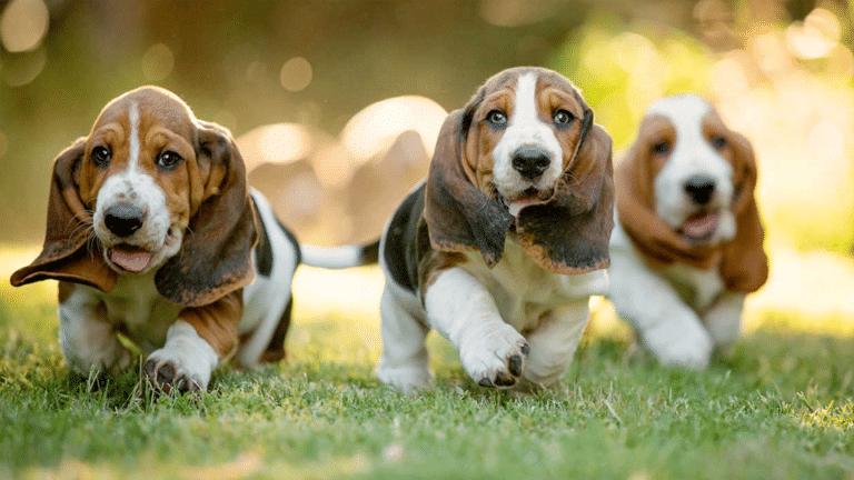 Trei căței basel alergând împreună.