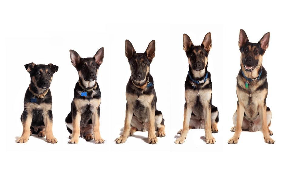 Diferite etape de creștere ale câinelui.