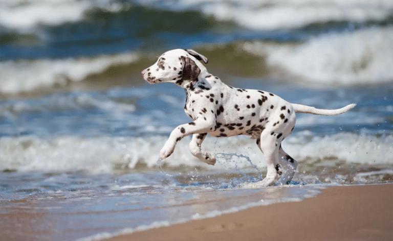 Pui de dalmațian alergând pe plajă.
