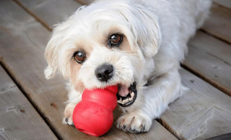 Bichon jucându-se cu o jucărie roșie.