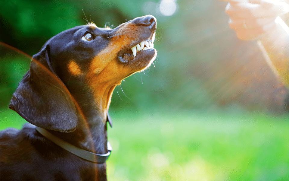 Câine arătându-și dinții.