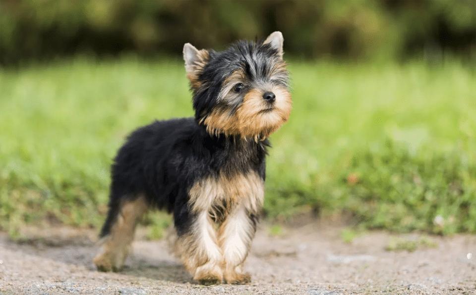 Pui de Yorkshire Terrier.