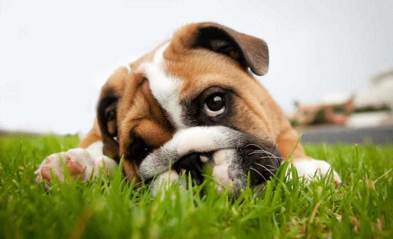 Cățeluș stând culcat în iarbă.