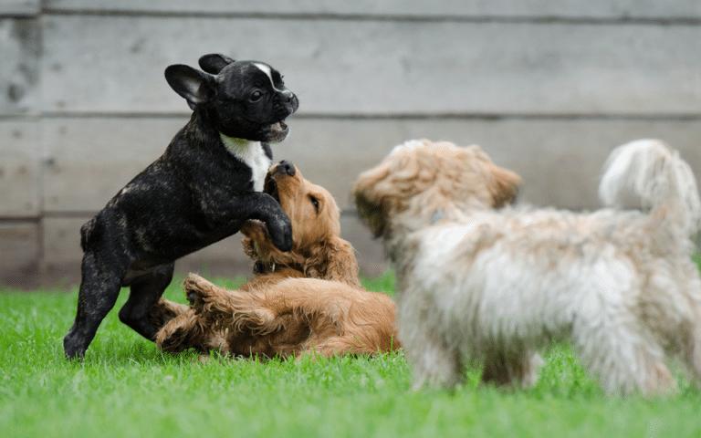 Trei pui de diferite rase de cățel jucându-se împreună în iarbă.