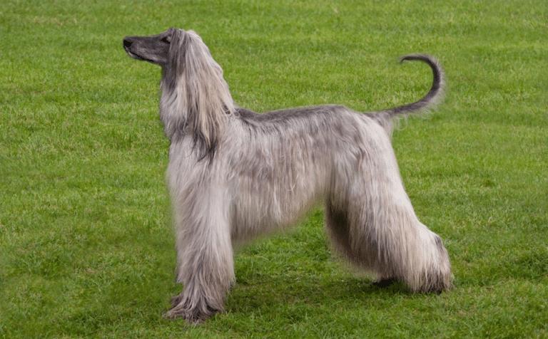 Câine Ogar afgan stând pe iarbă.