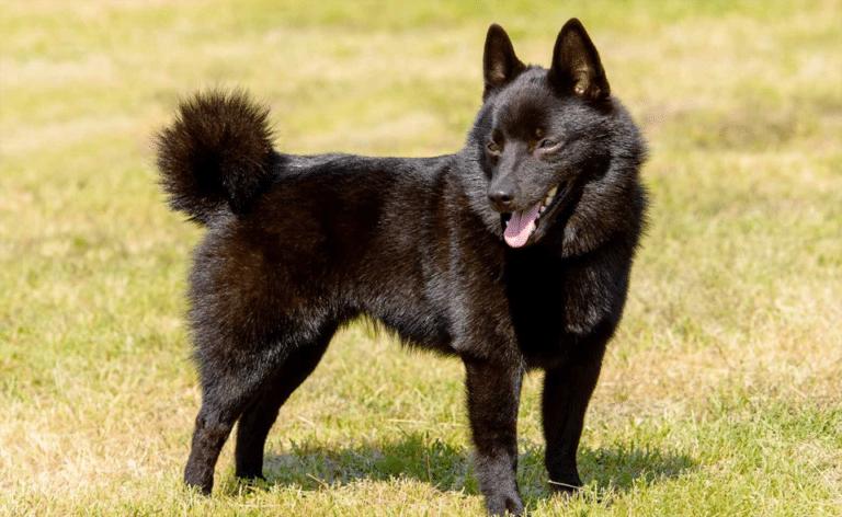 Câine Schipperke stând în iarbă.