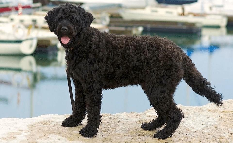 Câine portughez de apă (Porties) stând pe marginea unei faleze într-un port.