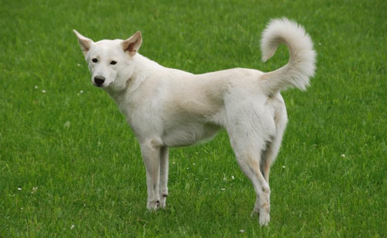 Câine Canaan stând în iarbă.