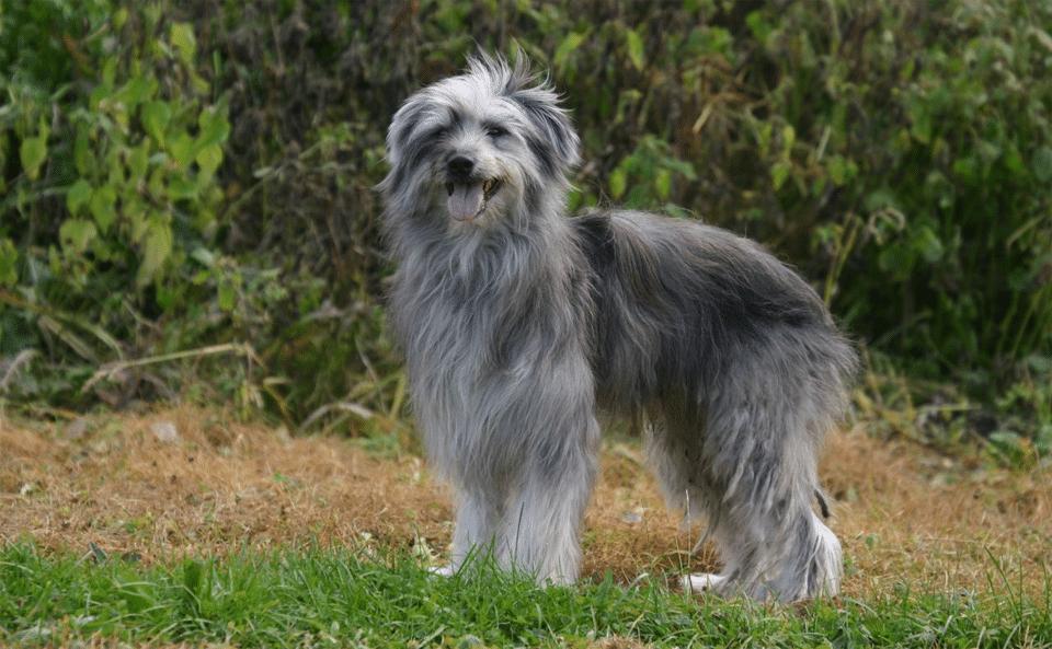 Câine Ciobănesc de Pirinei (Pyrenean Shepherd) stând în iarbă.