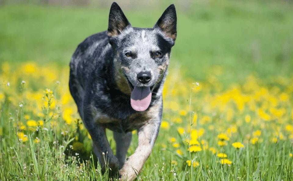 Câine de cireadă australian (Blue Heeler) alergând prin iarbă.