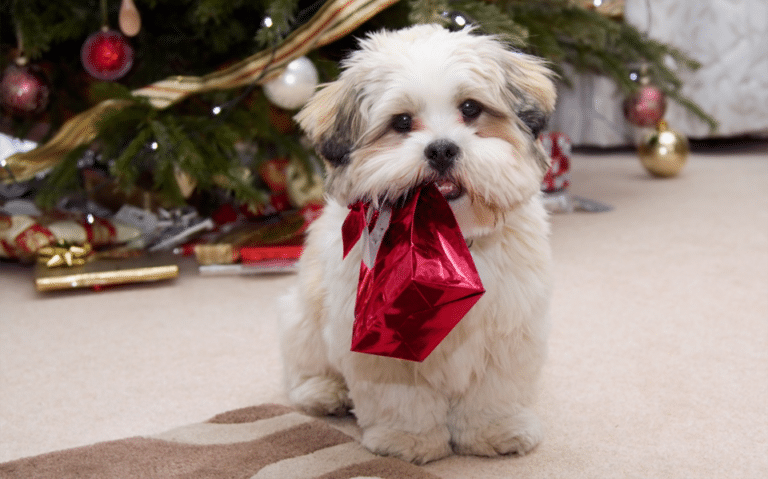 Cățeluș cu o pungă de cadou roșie în gură.