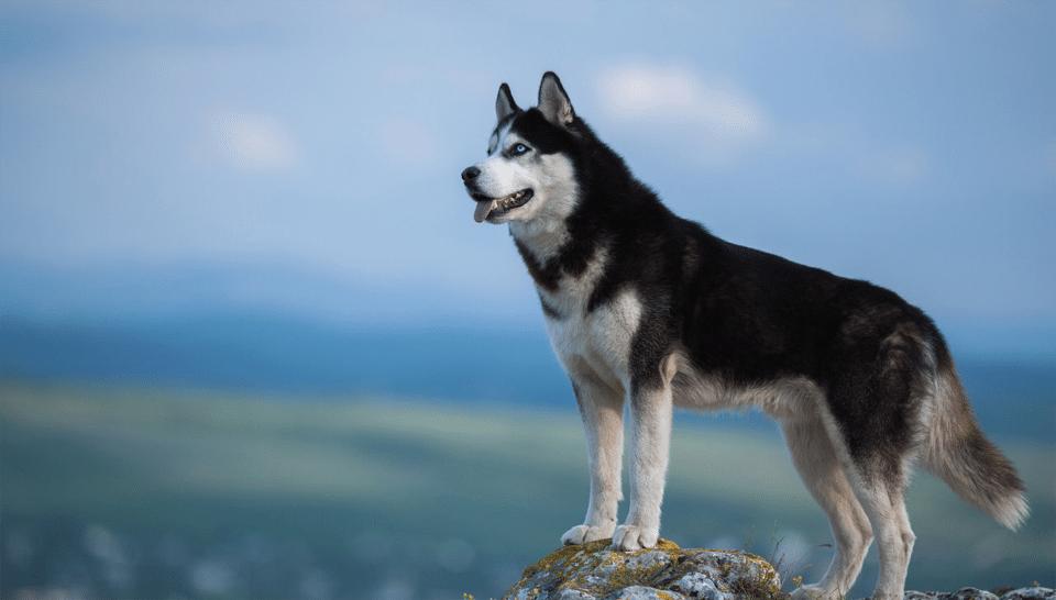Husky Siberian stând pe o stâncă.