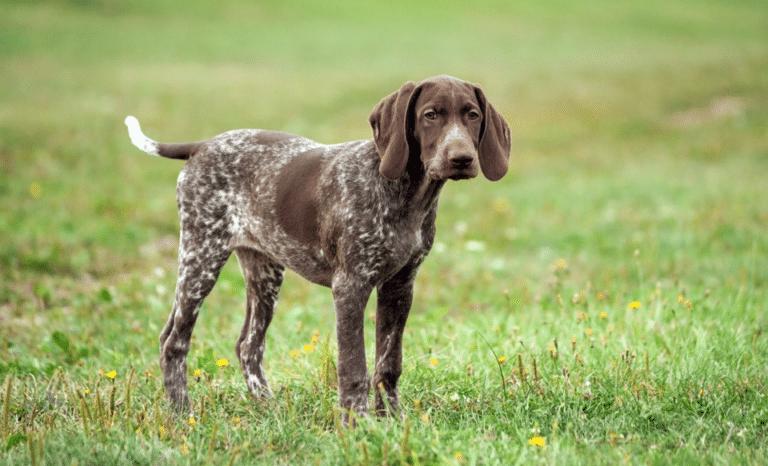 Câine de talie medie stând în iarbă.