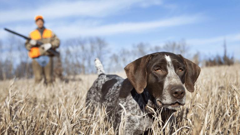 Câine de vânătoare mergând în fața unui vânător prin iarbă uscată.