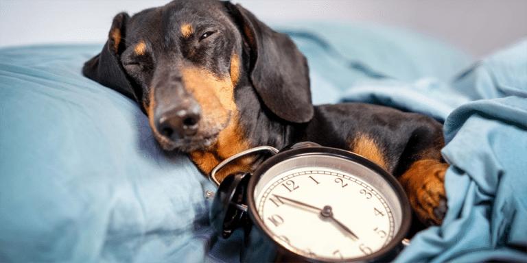 Cățel dormind lângă un ceas.