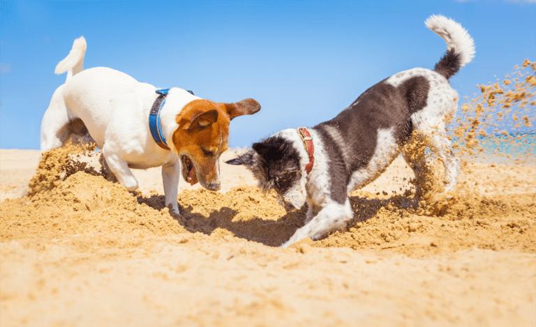 Doi căței săpând în nisip.