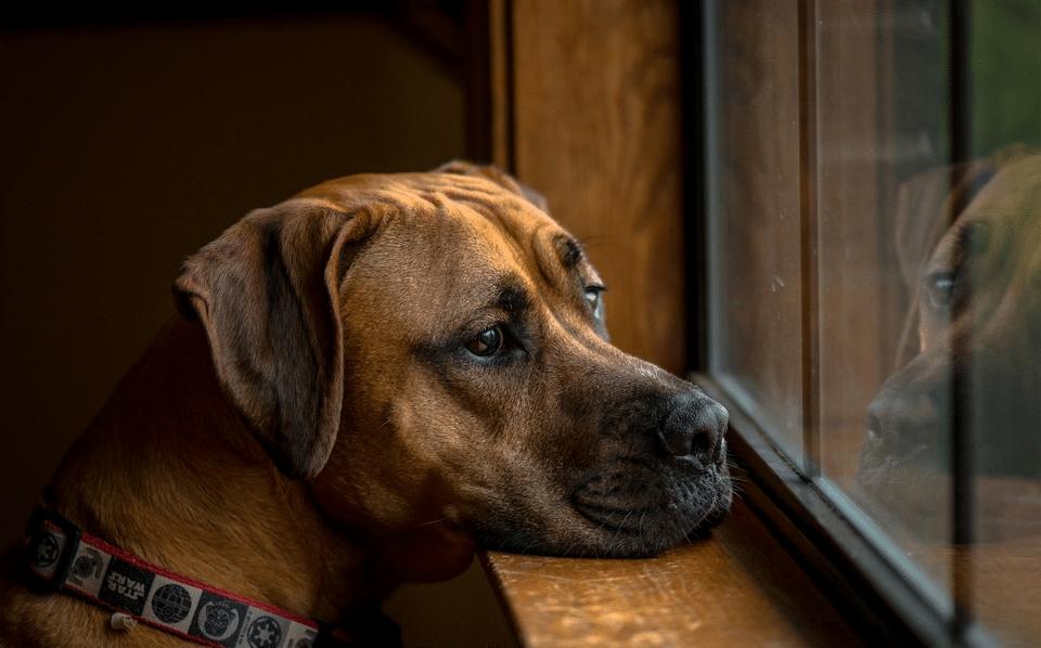 Câine plictisit uitându-se pe geam.