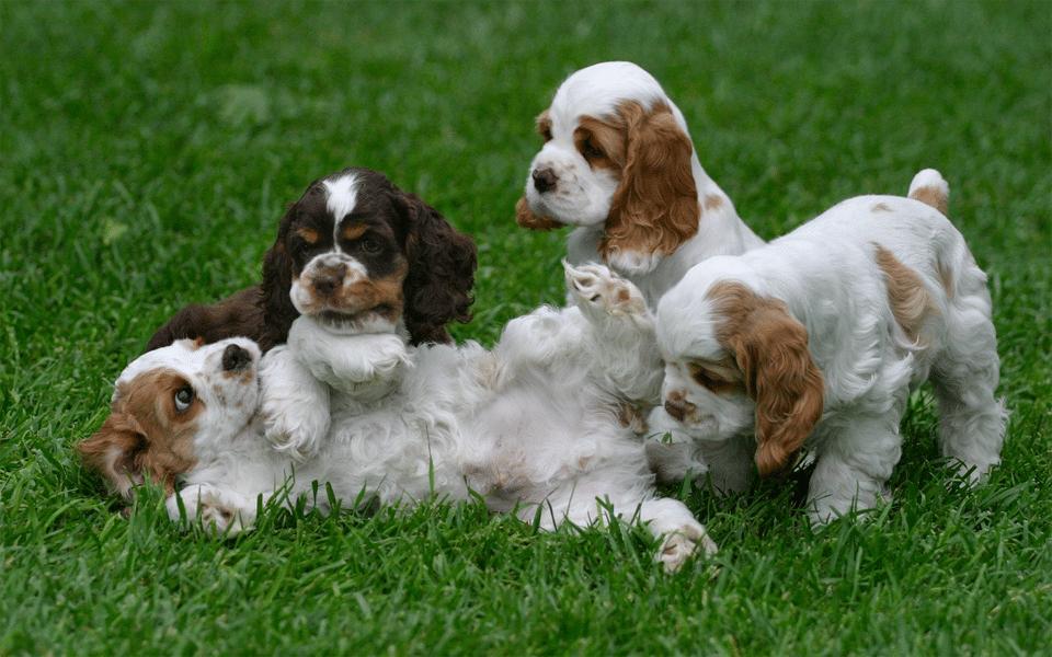 Patru pui de cățel jucându-se în iarbă.