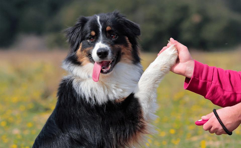 Câine dând lăbuța stăpânului său.
