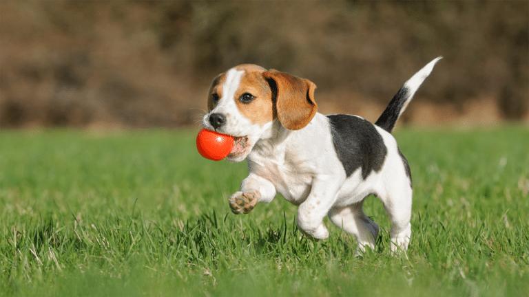 Pui de Beagle alergând prin iarbă cu o minge roșie în gură.