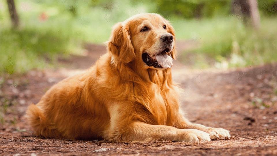 Câine Golden Retriever stând culcat pe pământ.
