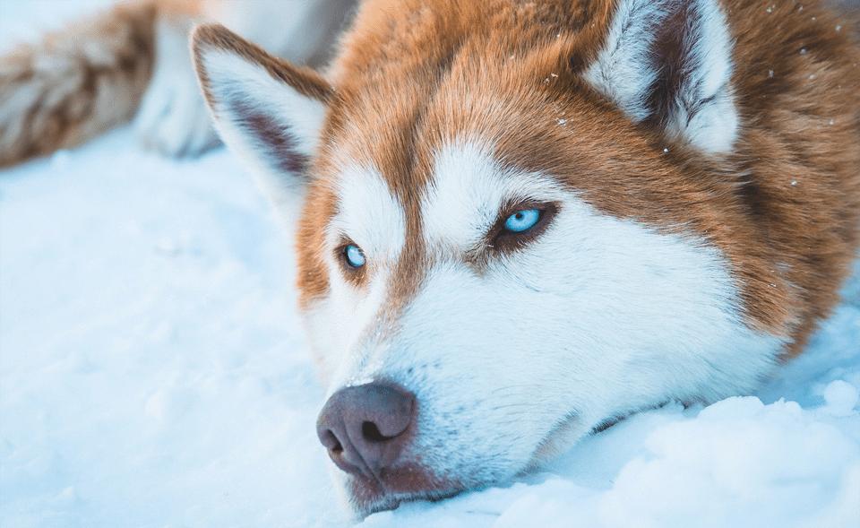 Husky Siberian stând cu capul în zăpadă.