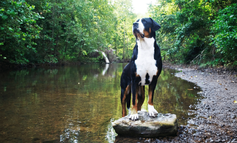 Marele câine de munte elvețian stând pe o piatră într-un lac.