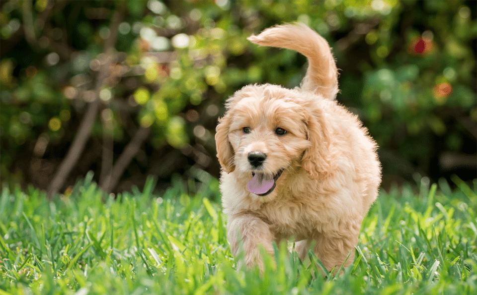 Câine Goldendoodle (Groodle) alergând prin iarbă.