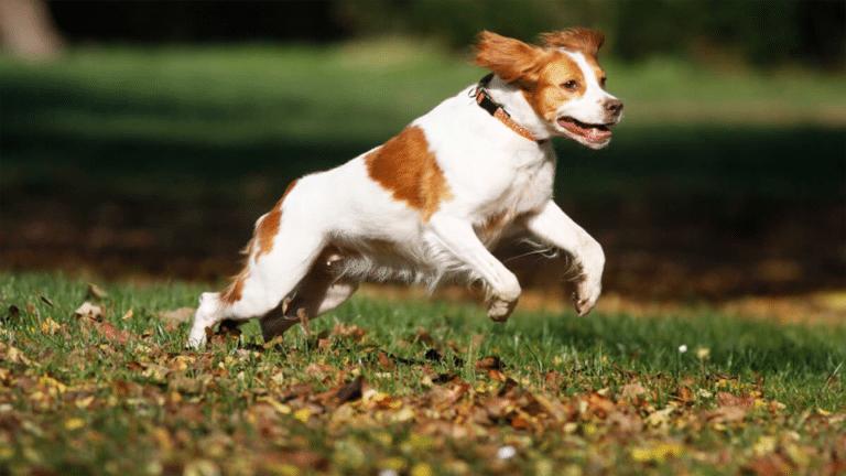 Câine Spaniel Brittany alergând prin iarbă și frunze.