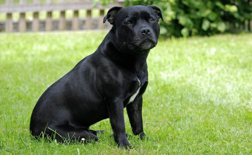 Câine Staffordshire Bull Terrier stând în fund în iarbă.