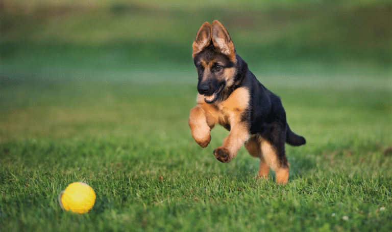 Cățeluș alergând după o minge de tenis în iarbă.