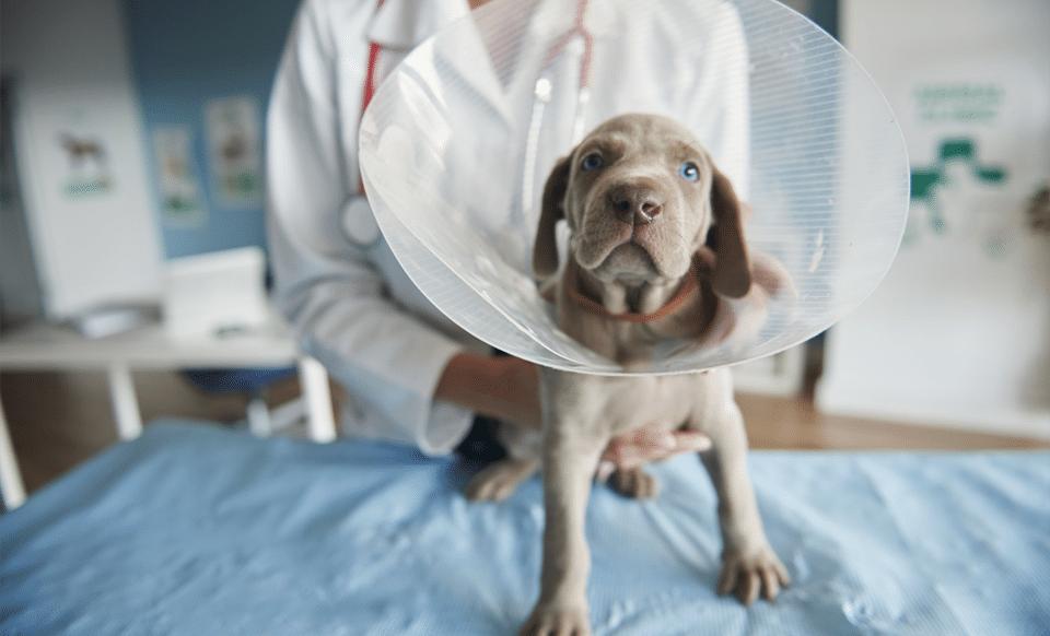 Câine cu un con de protecție la gât ținut de veterinar pe o masă.