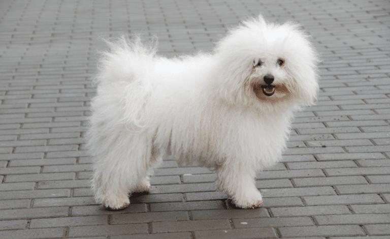 Câine rasa bichon Bolognese stând pe un trotuar.