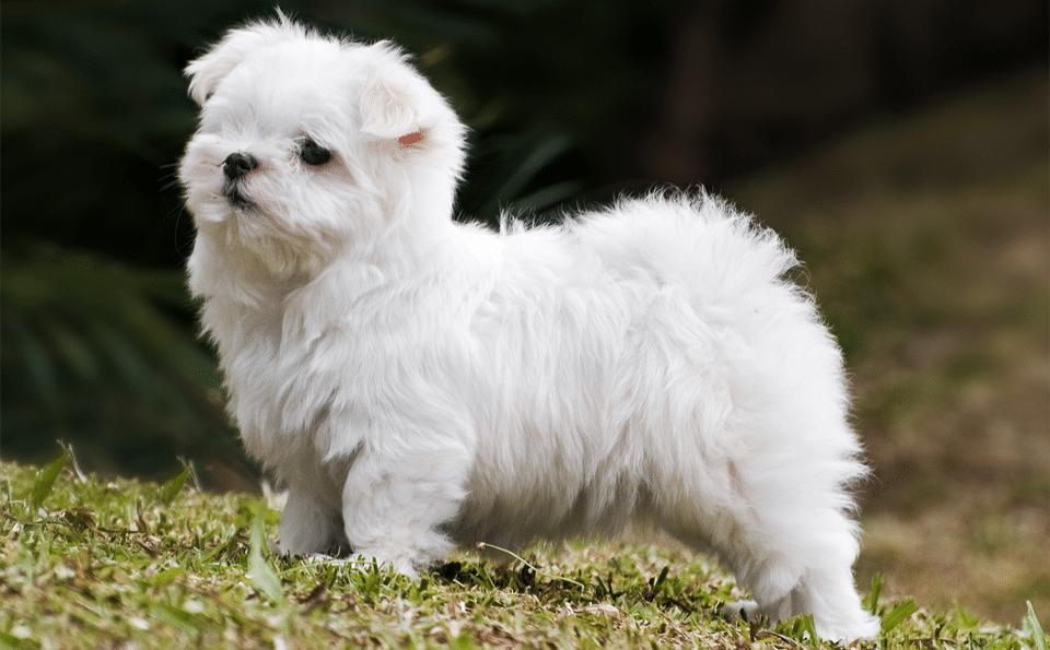 Câine bichon Maltez stând în iarbă.