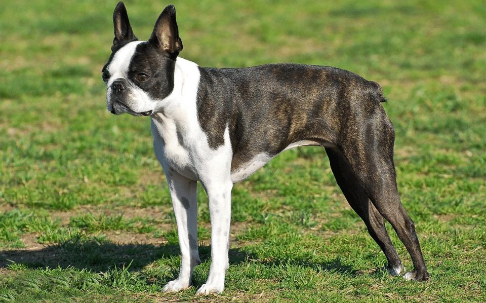 Câine rasa Boston Terrier stând în iarbă.