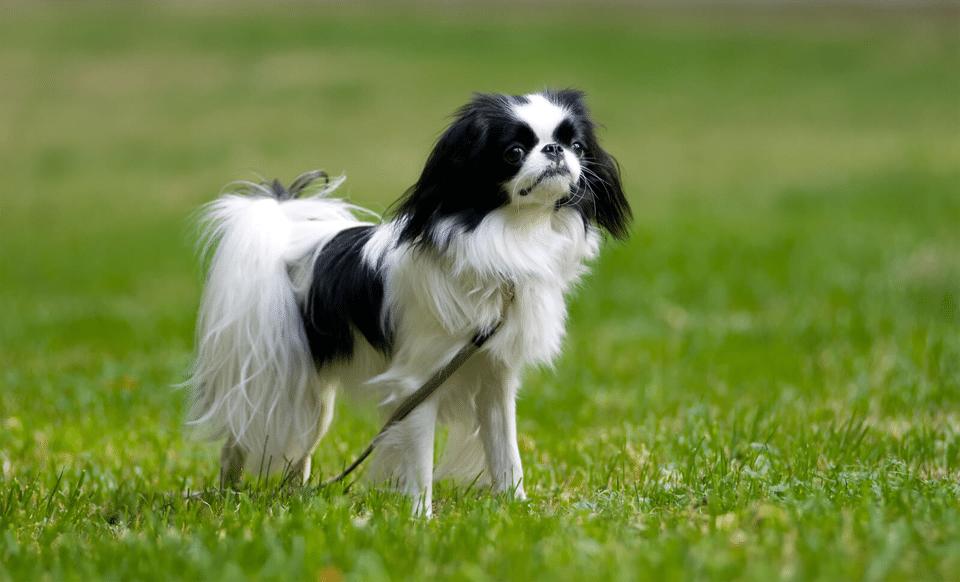 Câine Chin japonez (Spaniel japonez) stând în iarbă.