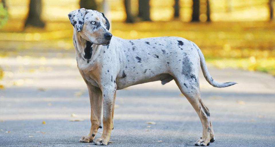 Câine Leopard Catahoula stând pe drum într-un parc.