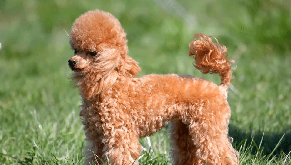 Câine Pudel stând în iarbă.