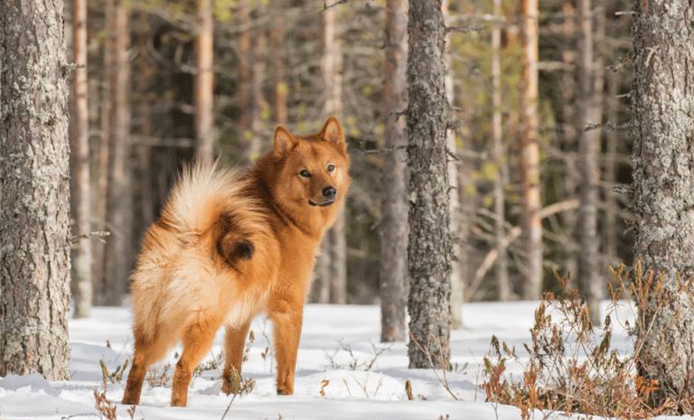 Câine Spitz Finlandez (Finkie) stând în zapadă într-o pădure.
