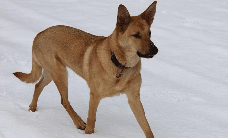 Câine rasa Chinook mergând prin zăpadă.