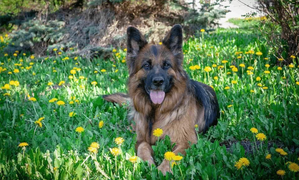 Câine rasa Ciobănesc regal stând culcat în iarbă.