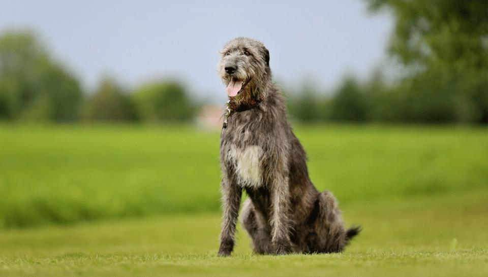 Câine Irish Wolfhound stând în fund în iarbă.