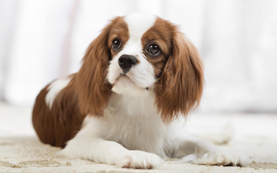 Câine Spaniel Cavalier King Charles văzut de aproape.